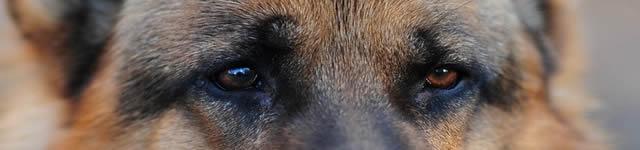 German Shepard Eyes