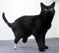 Oscar the cat gets a pair of prosthetic paws