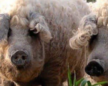 mangalitsa pig sheep