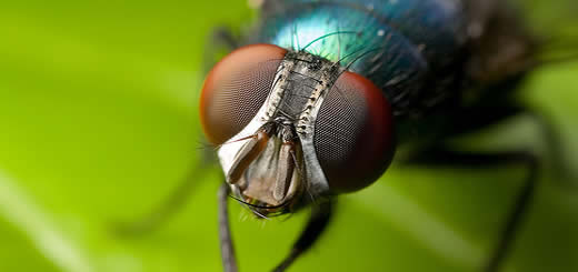 Why Are Flies So Darn Hard To Swat?