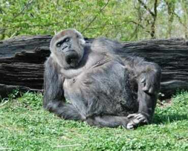 pregnant ape