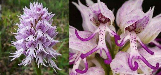 Naked Man Orchid – Floral Gift For Discerning Tastes