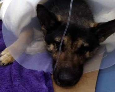 German Shepherd After Surgery