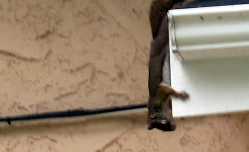 Pecker the squirrel thinks he is an acrobat
