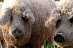 Sheep-pig Shows Even Mother Nature Gets Confused