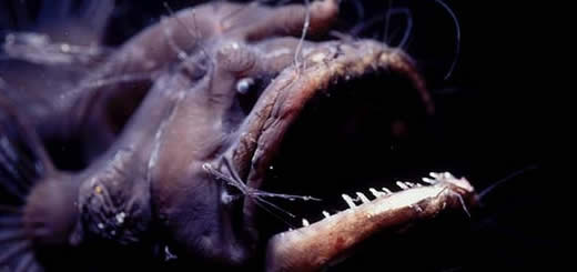 Anglerfish With Big Sharp Teeth