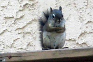 Pecker The Roof Rodent Versus Will The Man – Result Is A 7 Room Condo For Squirrel