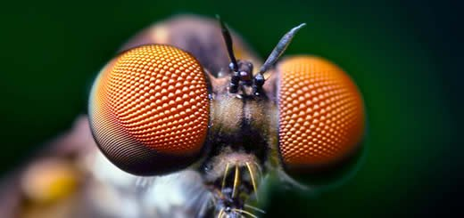 Compound Eyes of a Robber Fly By Thomas Shahan | www.flickr.com/photos/opoterser/