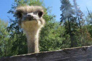 True Or False? Ostriches Bury Their Heads When In Danger