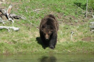 Tiny Woman Survives Savage Attack From Grizzly Bear
