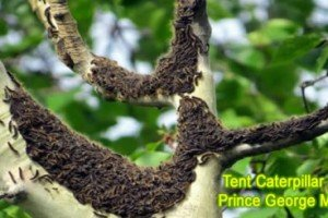 Tent Caterpillars Invade Prince George | Our Back Yard