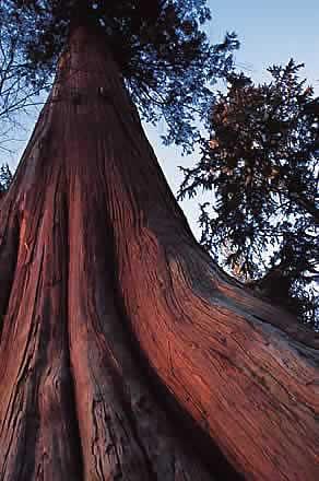 British Columbia Western Red Cedar