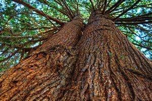 Cedar – Natural Rodent And Bug Control