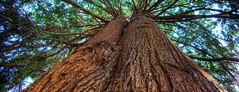 big cedar tree